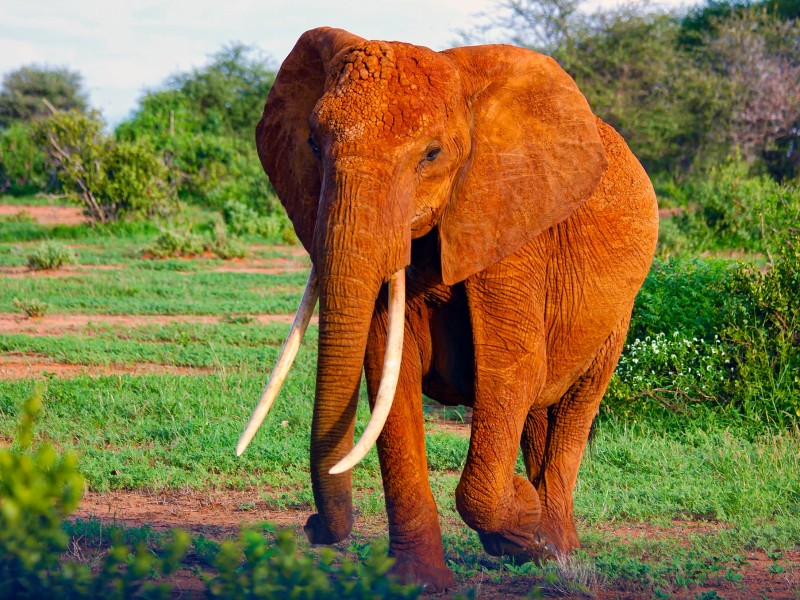 Roter Elefant, Tsavo West