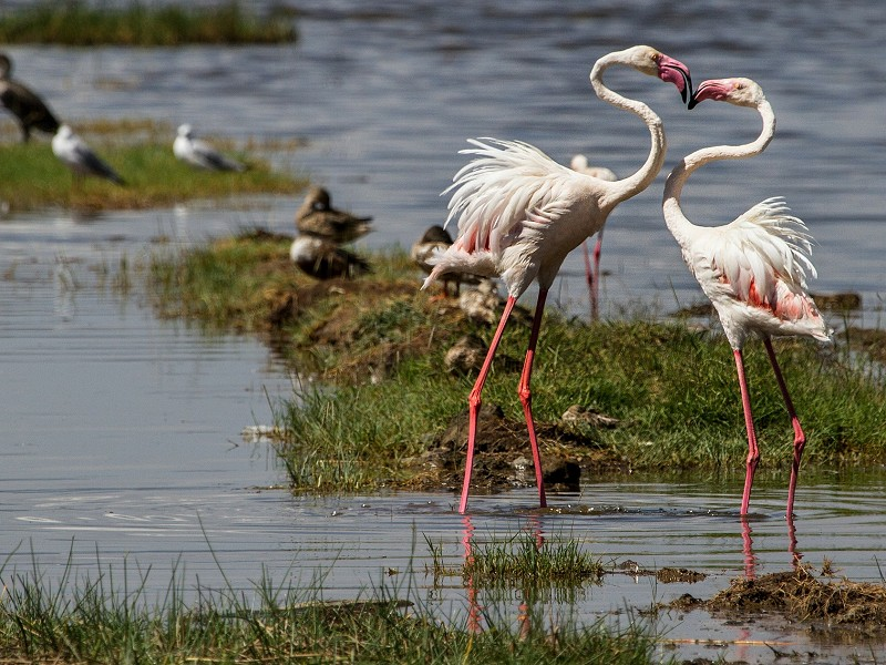 Flamingos und Safari in Kenia